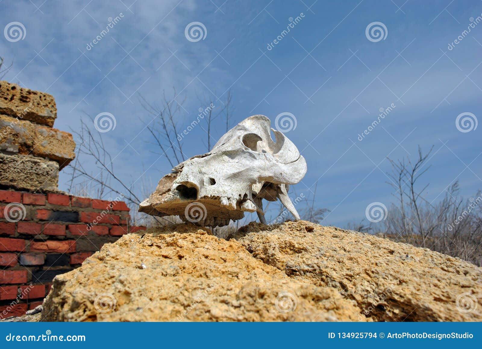 Cierre del cráneo de Bull encima de la colocación en la pared del coquina de los bloques crimeos de la roca y de ladrillos rojos