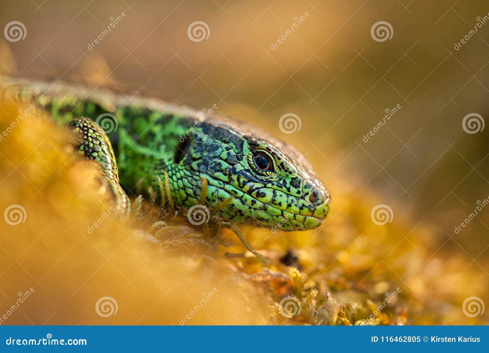 Cierre del lagarto de arena para arriba