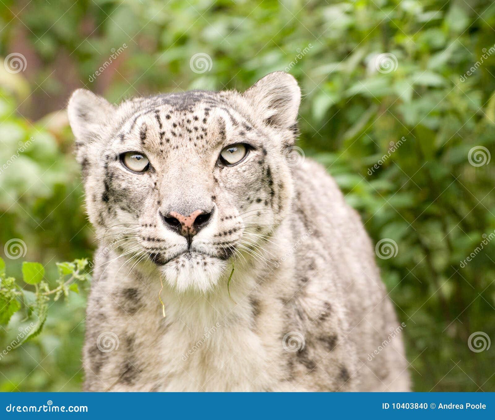Cierre del leopardo de nieve para arriba