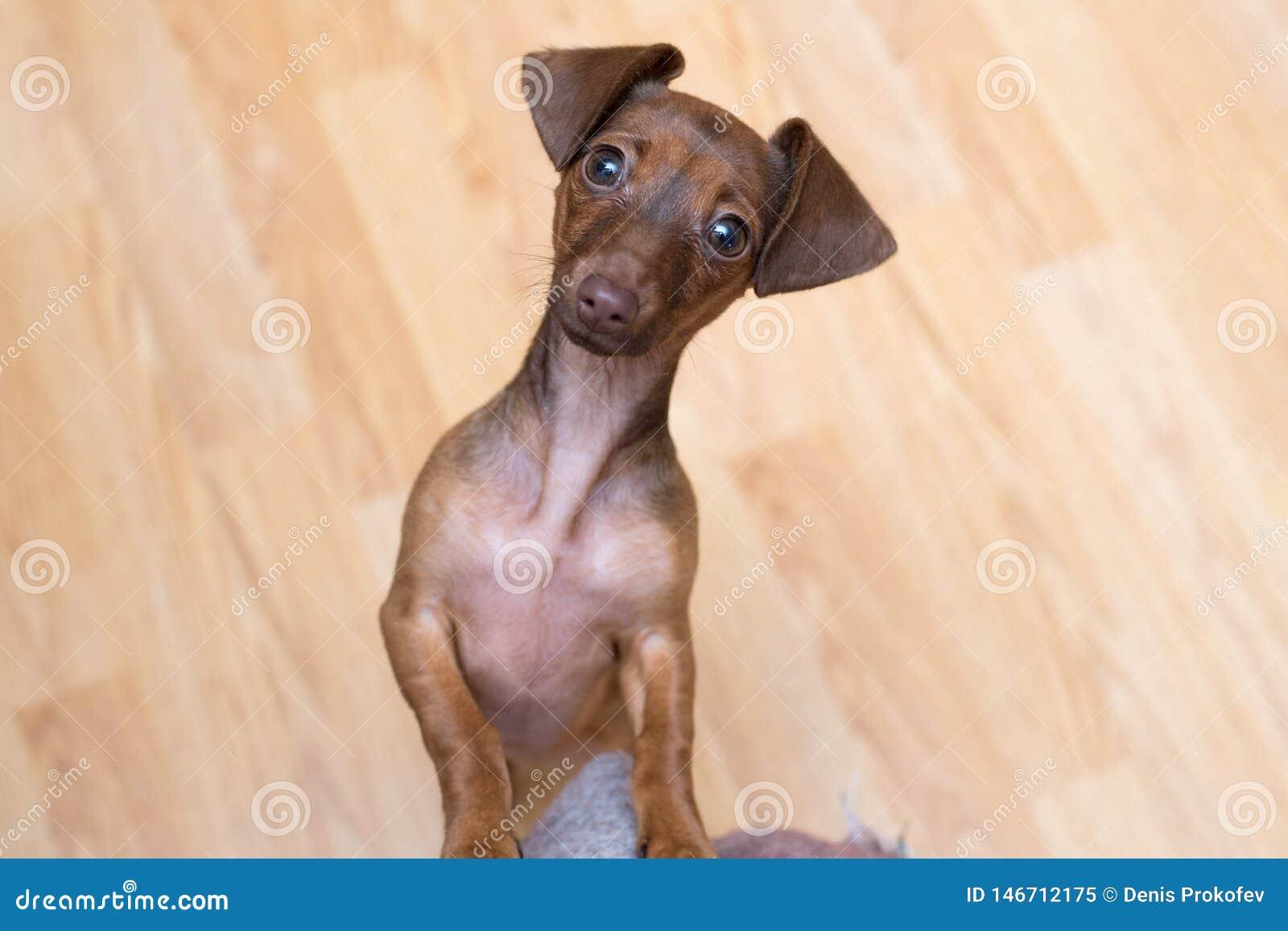Cierre del perrito del perro basset para arriba pet Aislante lindo del perro