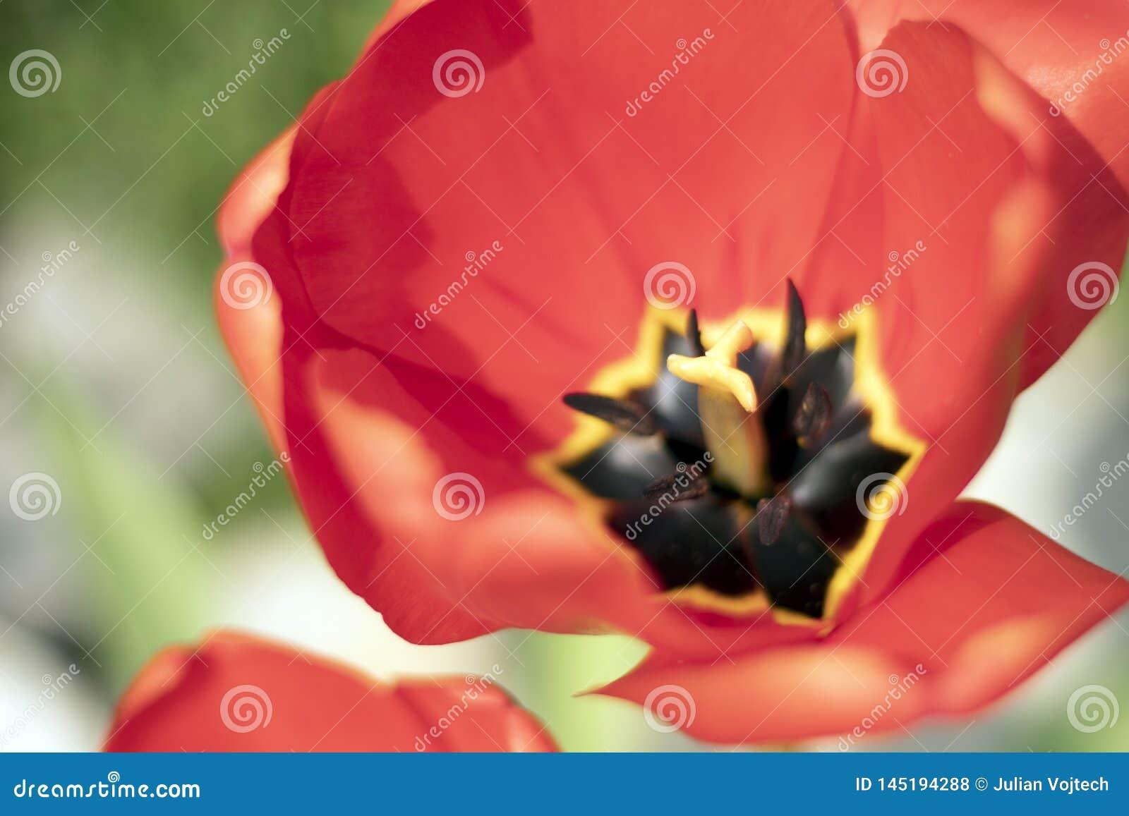 Cierre encima de la flor roja hermosa macra del tulipán - extremadamente cercana para arriba