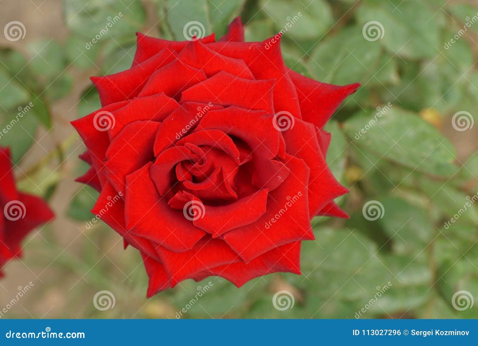 Cierre encima de la vista superior del las rosas rojas brillantes rizadas medio abiertas