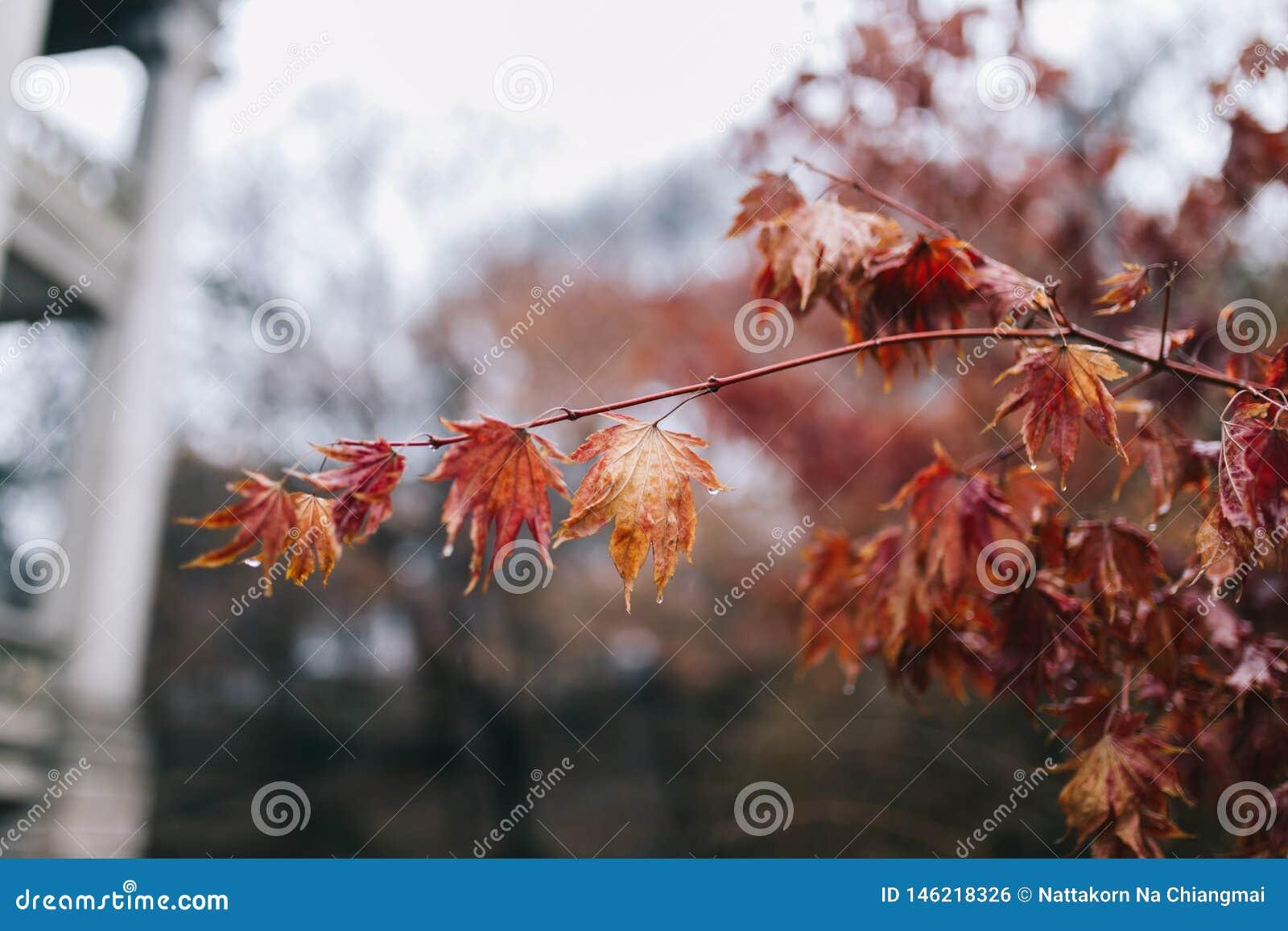 Cierre encima de las hojas de arce y de la rama rojas con descensos del agua de lluvia