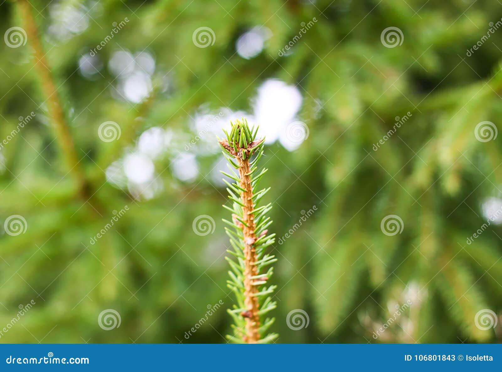 Cierre espinoso verde de la rama de árbol de abeto para arriba