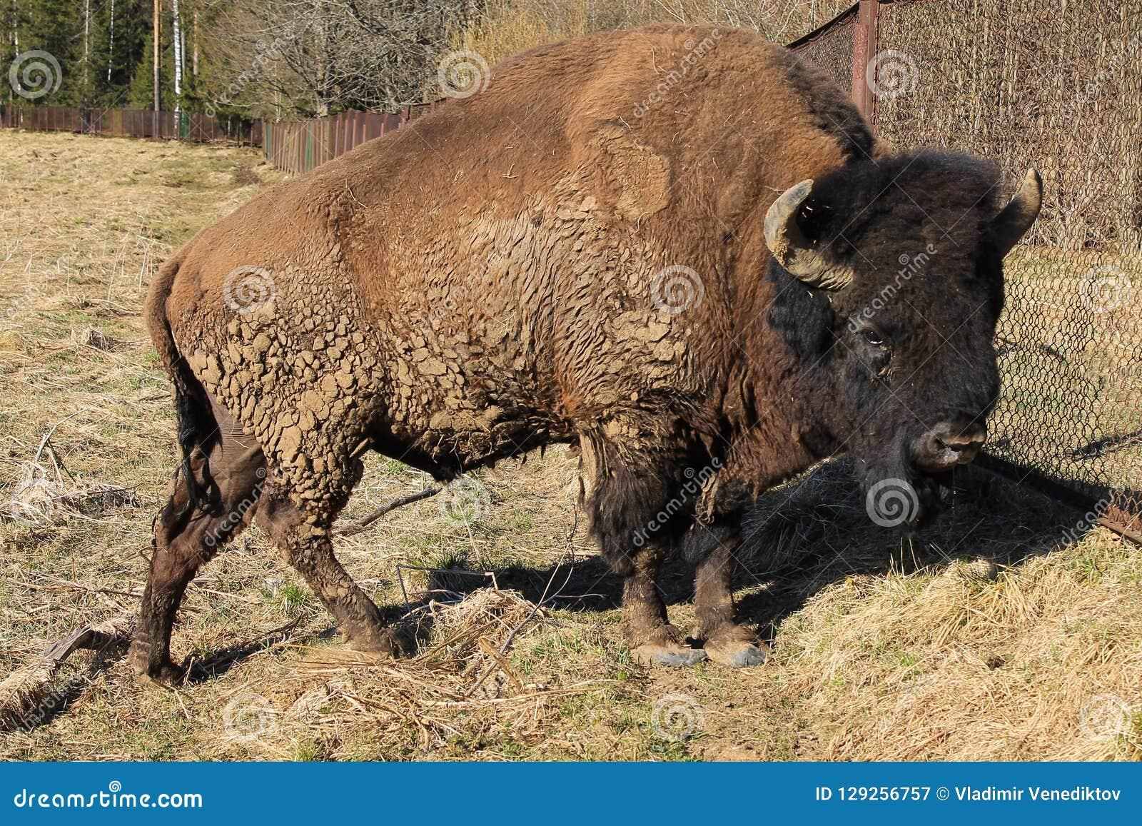 Cierre europeo del bisonte para arriba en el parque