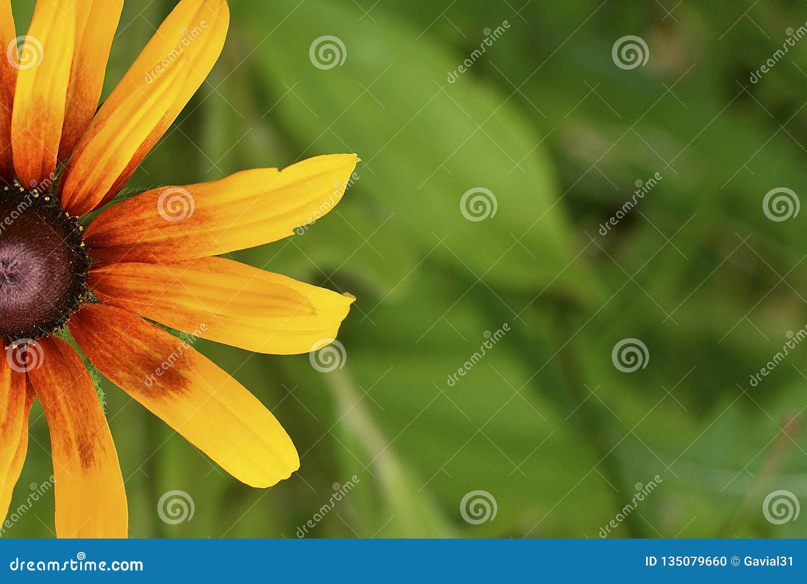 Cierre hermoso de Susan Blackeyed de la flor encima del fondo