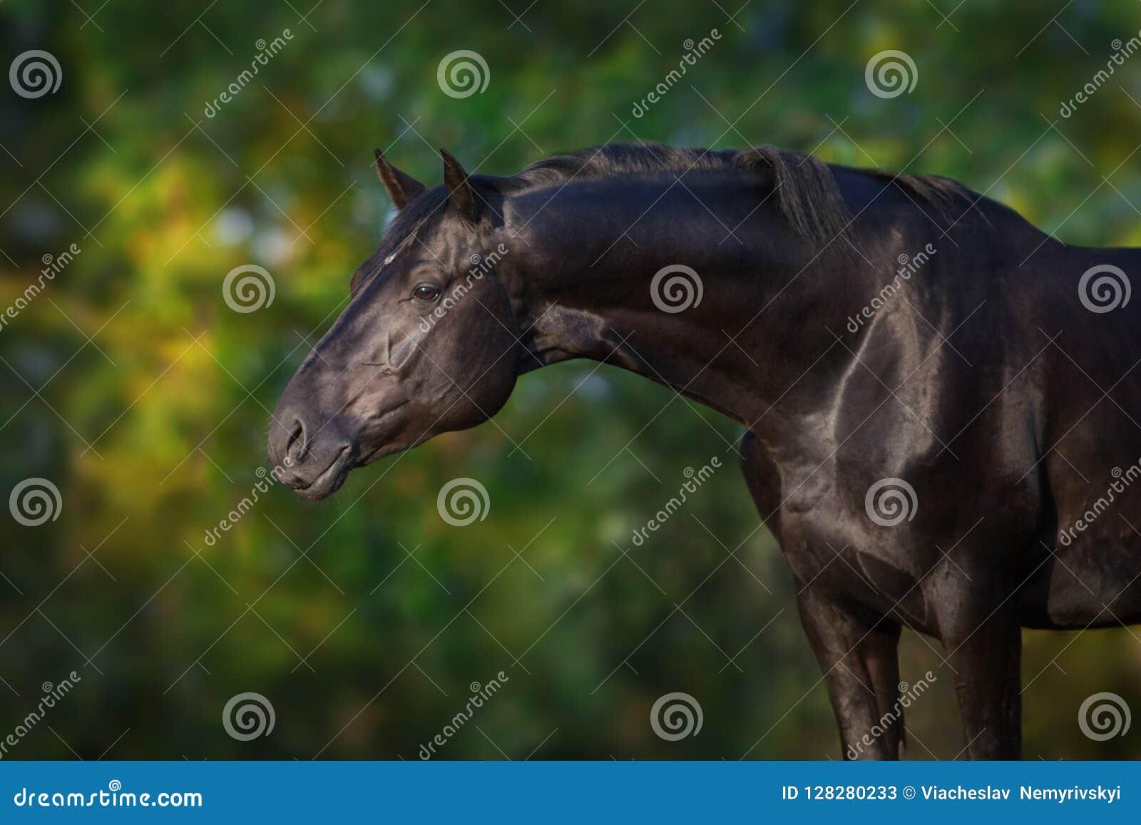 Cierre negro del caballo encima del retrato