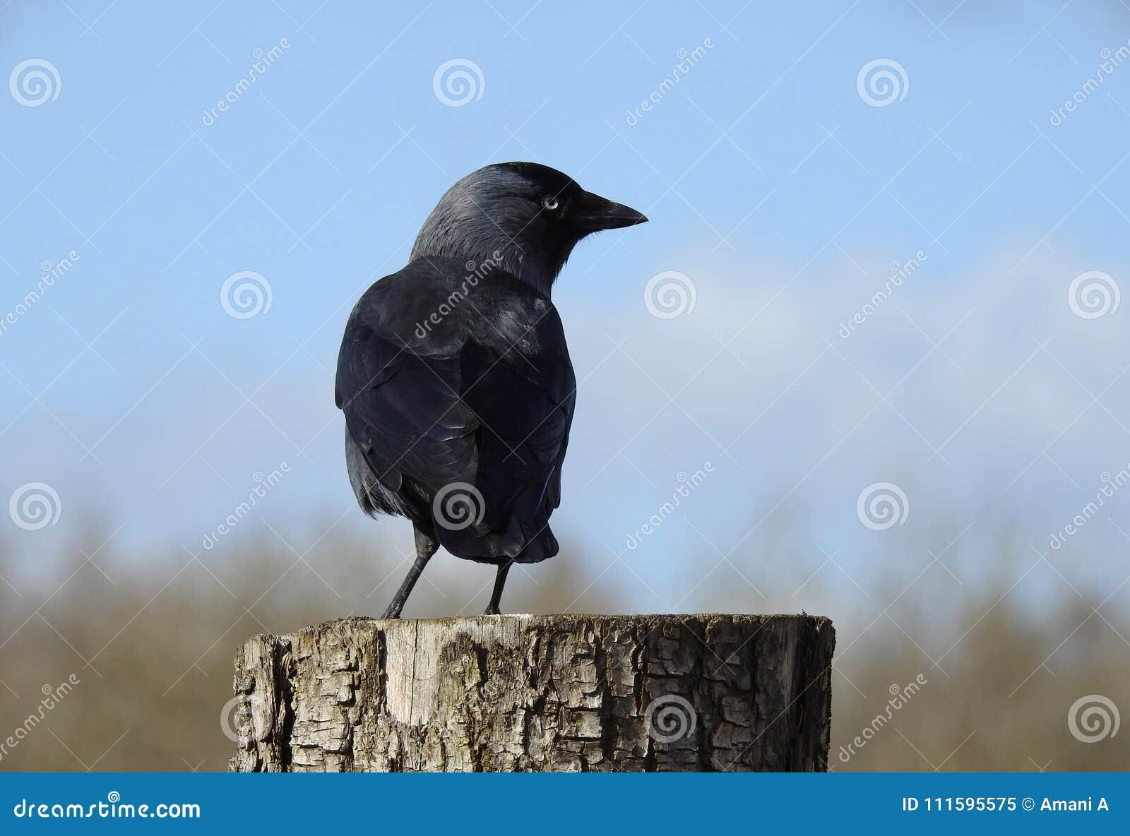 Cierre negro del cuervo para arriba