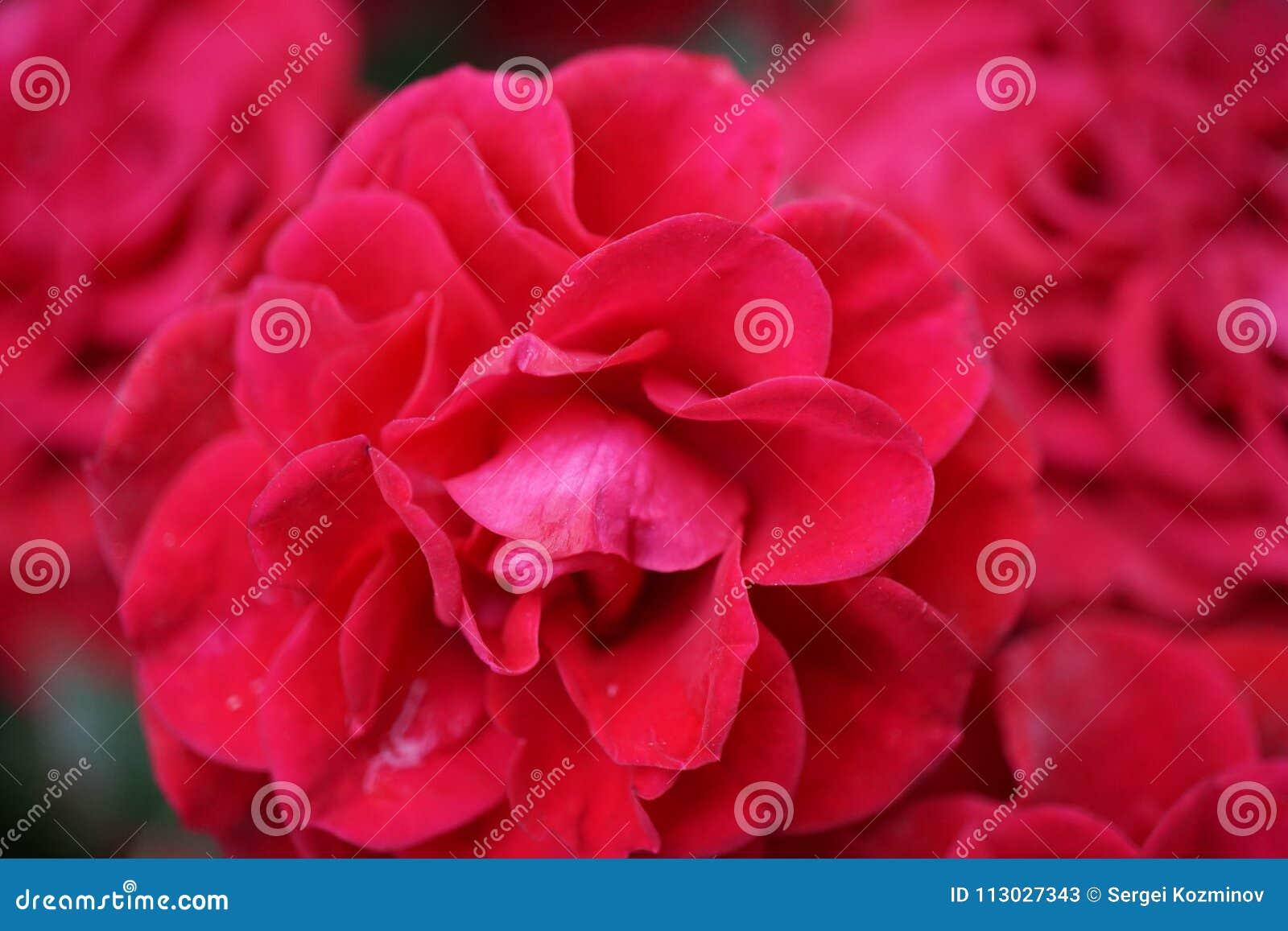 Cierre para arriba de las rosas dobles rojas