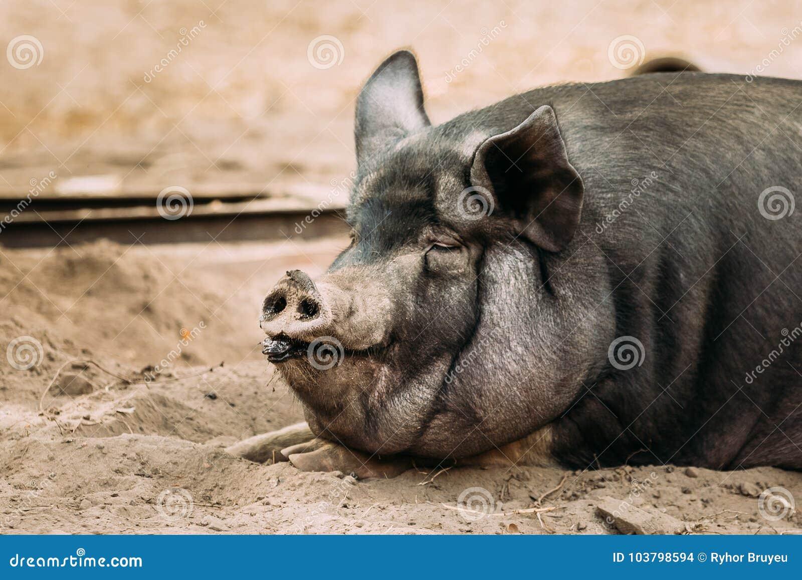 Cierre Para Arriba Del Hogar Un Cerdo Negro Grande En Granja El ...
