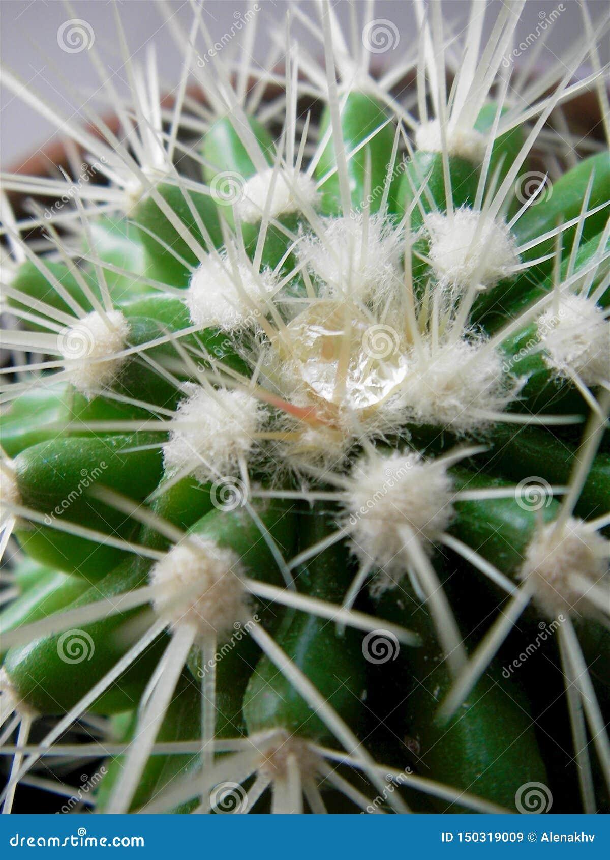 Cierre para arriba el descenso del agua en agujas del cactus