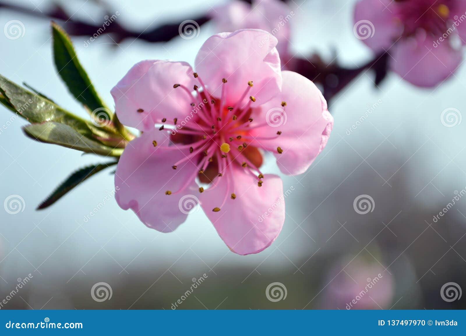 Cierre rosado floreciente hermoso de la flor del melocotón para arriba