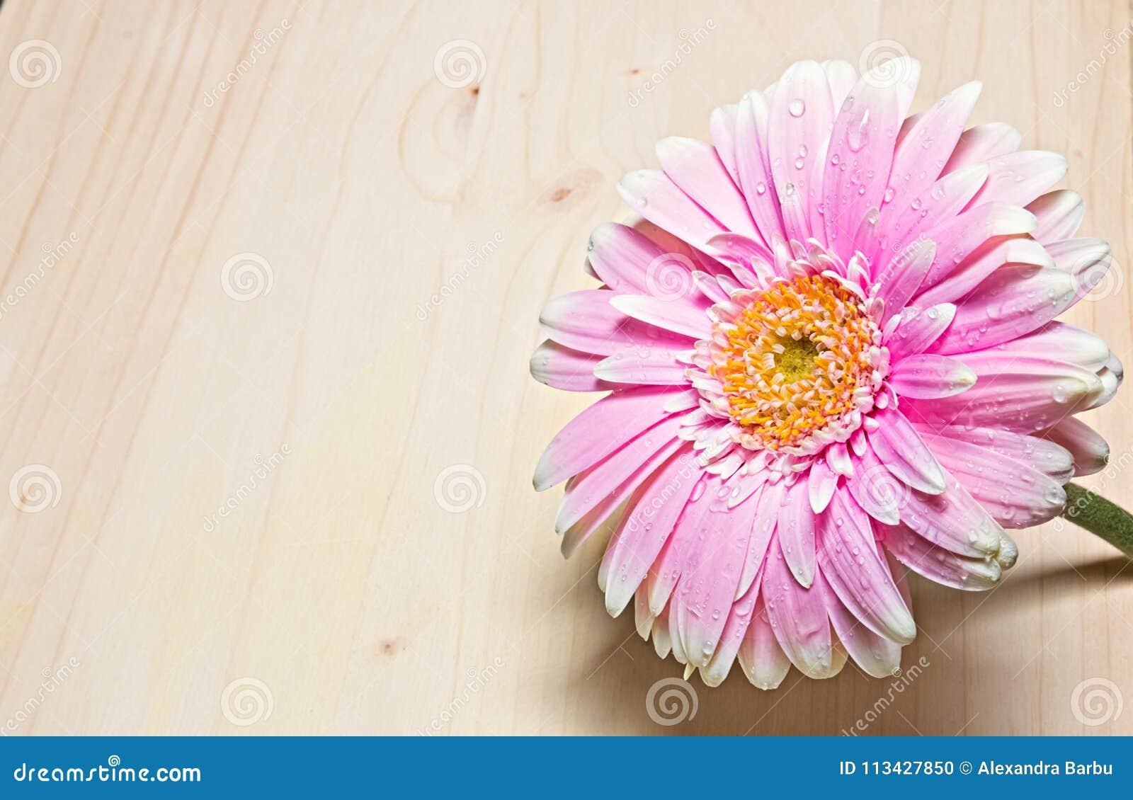 Cierre rosado y blanco de la flor del gerbera para arriba en el fondo de madera