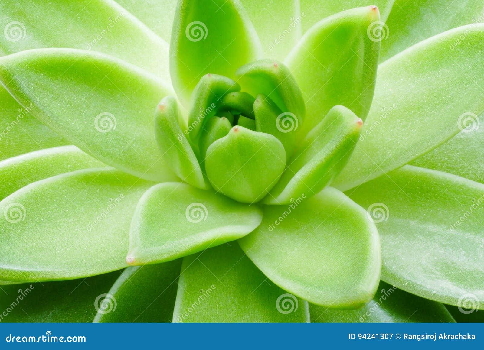 Cierre suculento verde de la macro de la planta encima del fondo