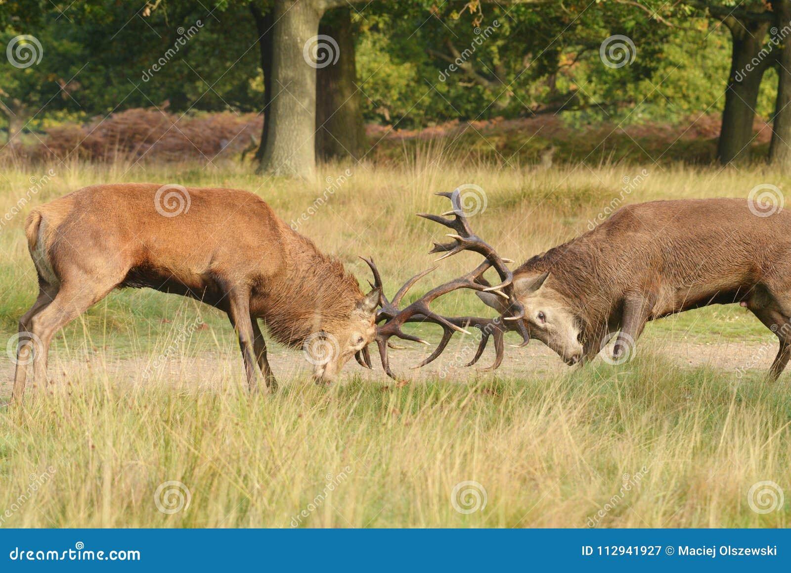 Ciervos comunes, ciervos, elaphus del Cervus