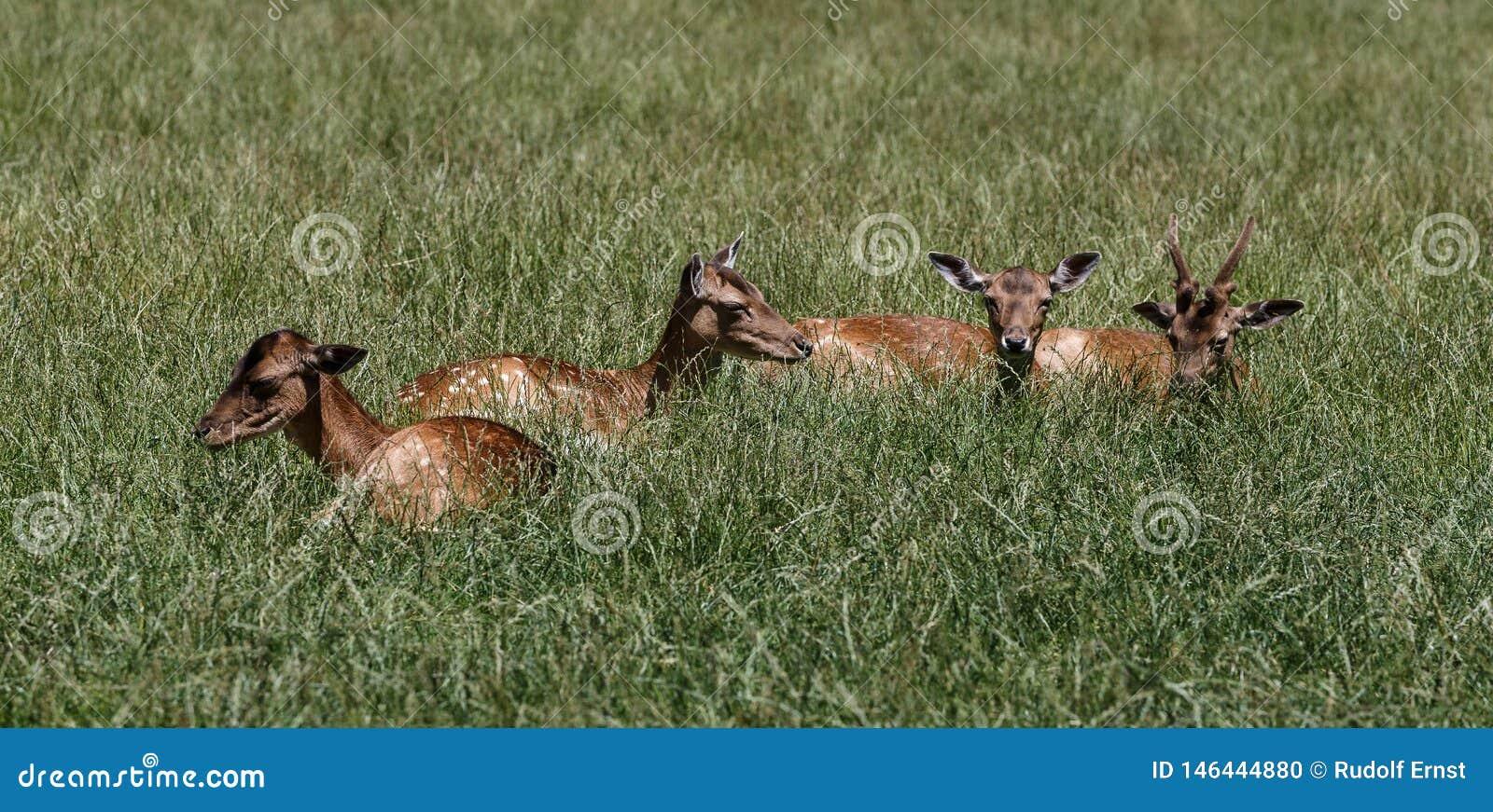 Ciervos comunes, elaphus del Cervus en un parque de naturaleza alem?n