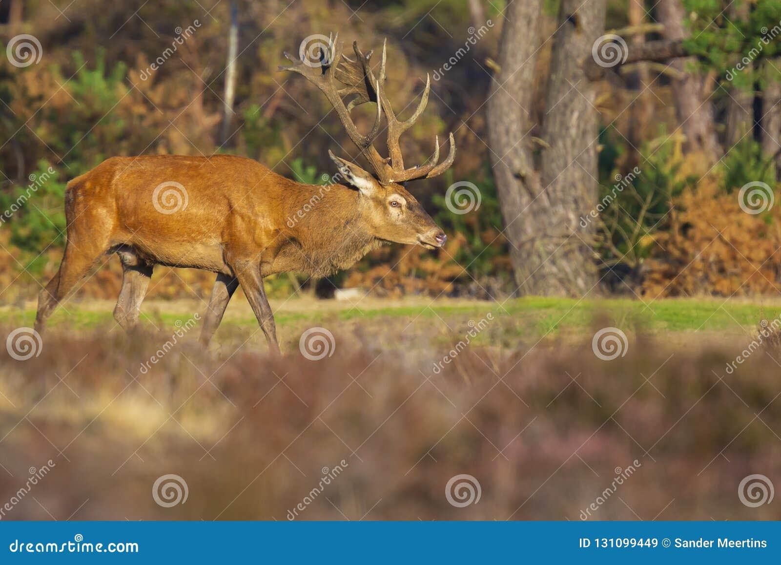 Ciervos comunes masculinos, elaphus del cervus, durante celo
