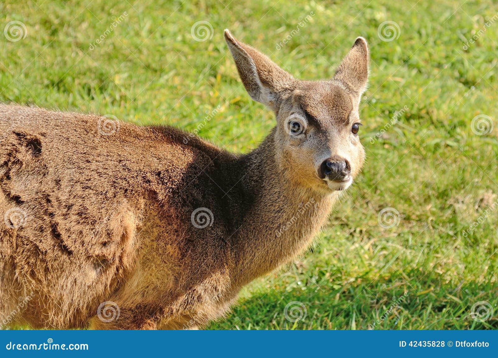 Ciervos de Blacktail