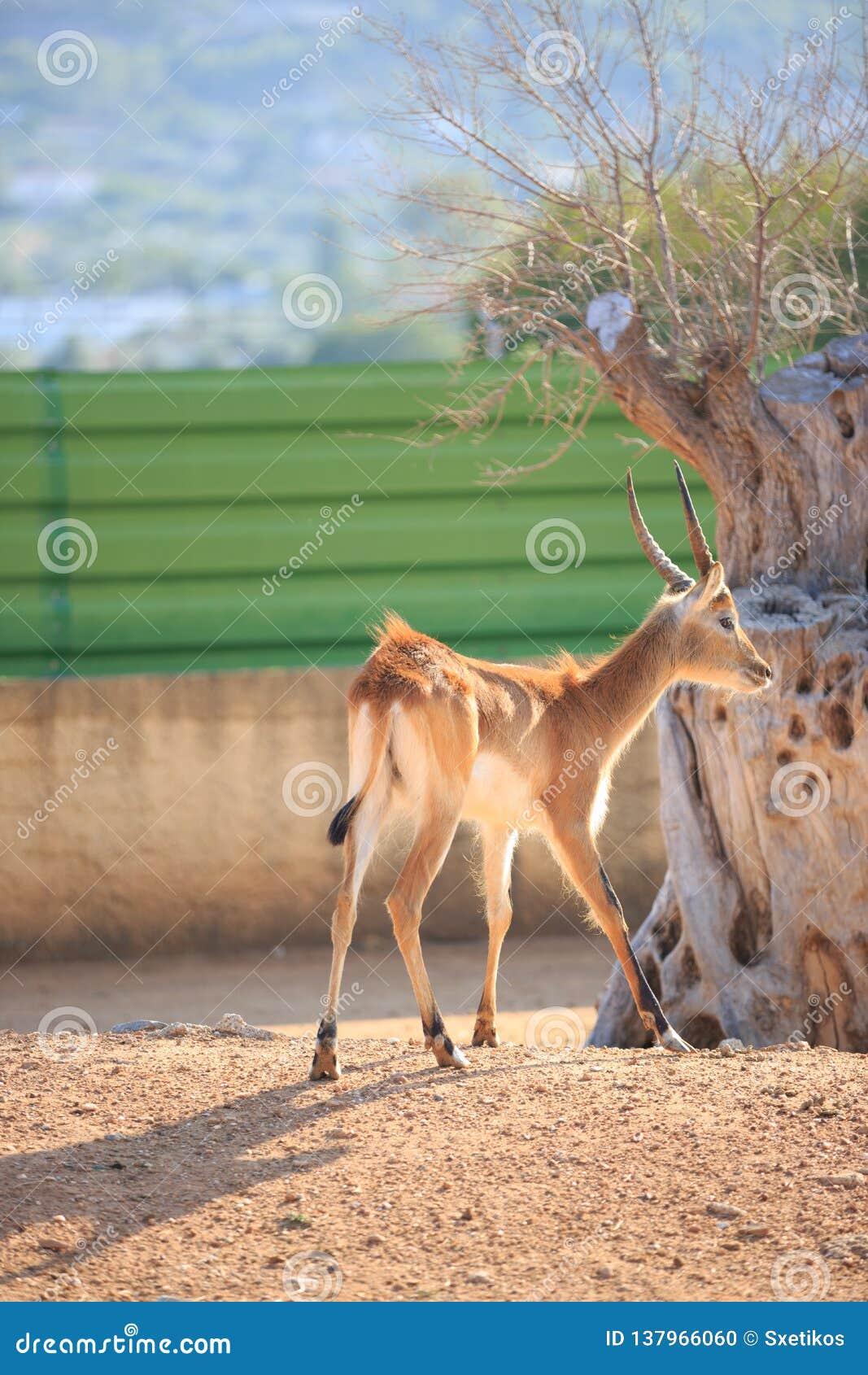 Ciervos de Lechwe de los planos de Kafue