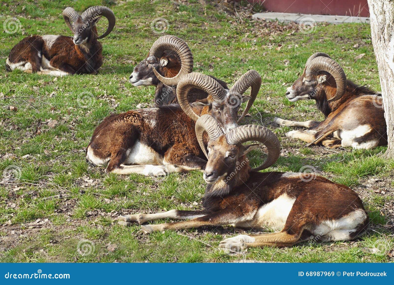 Ciervos de Mouflon