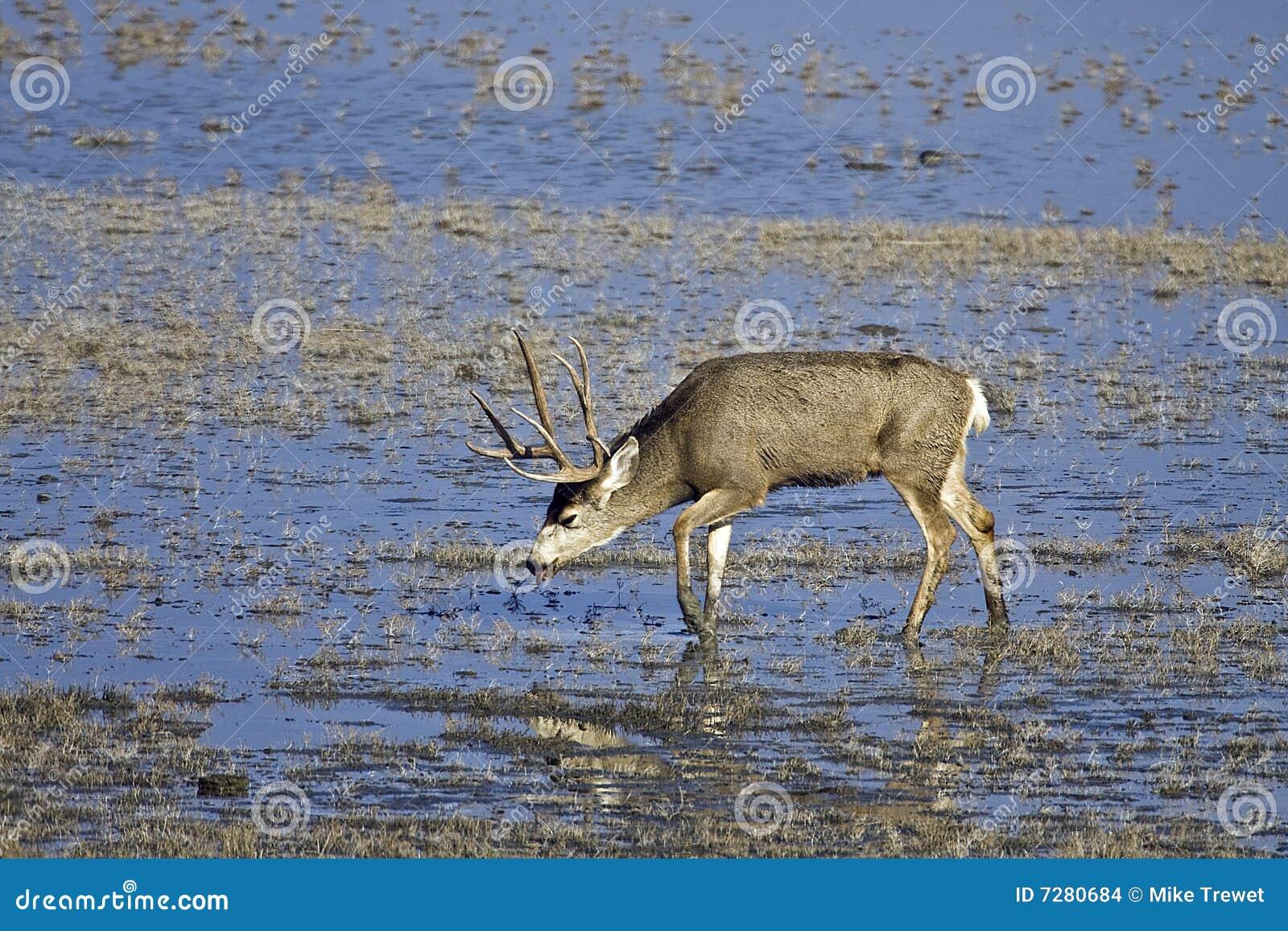 Ciervos de mula