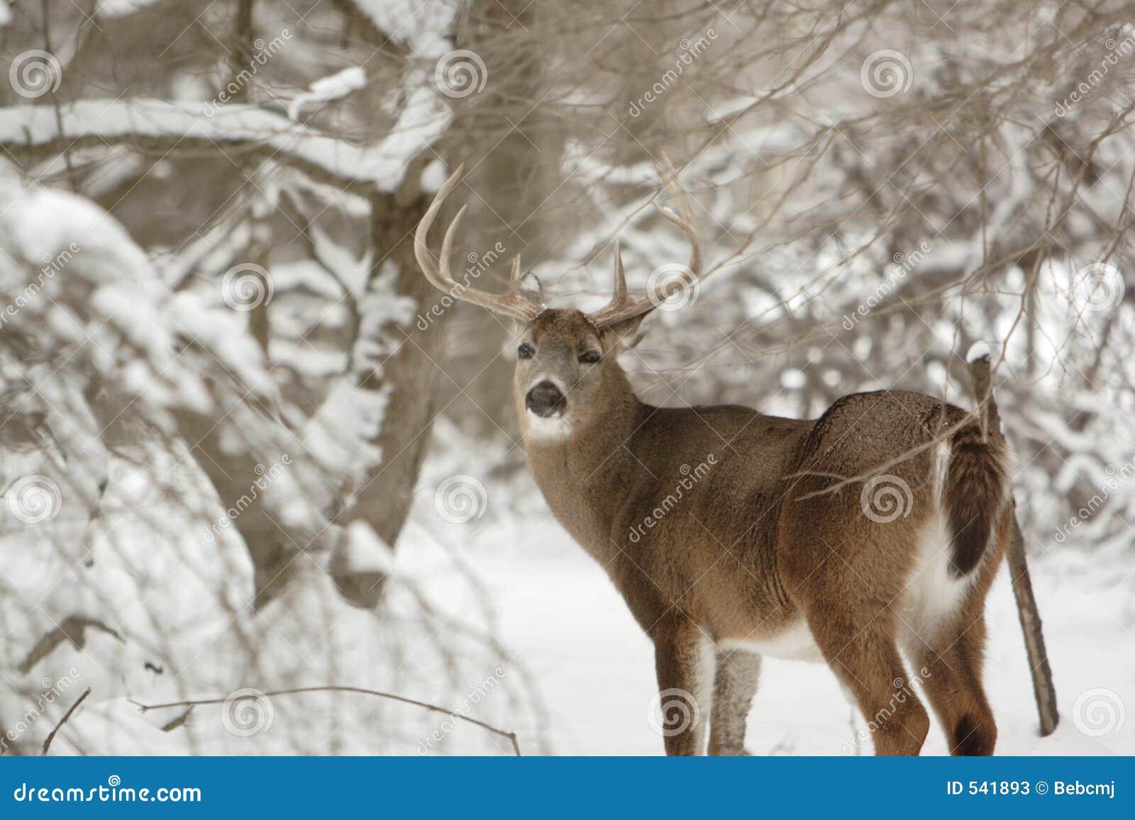 Ciervos del dólar del Whitetail en la nieve