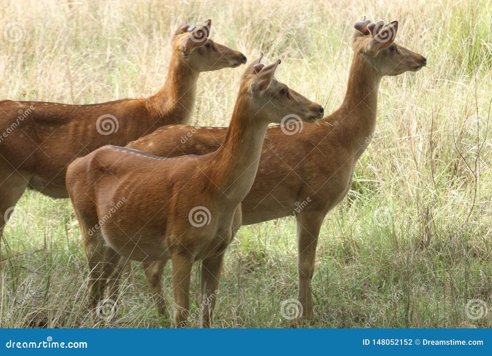 Ciervos del pantano