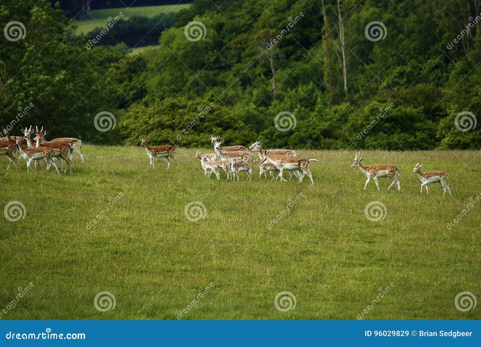 Ciervos en barbecho junto que corren cuesta arriba