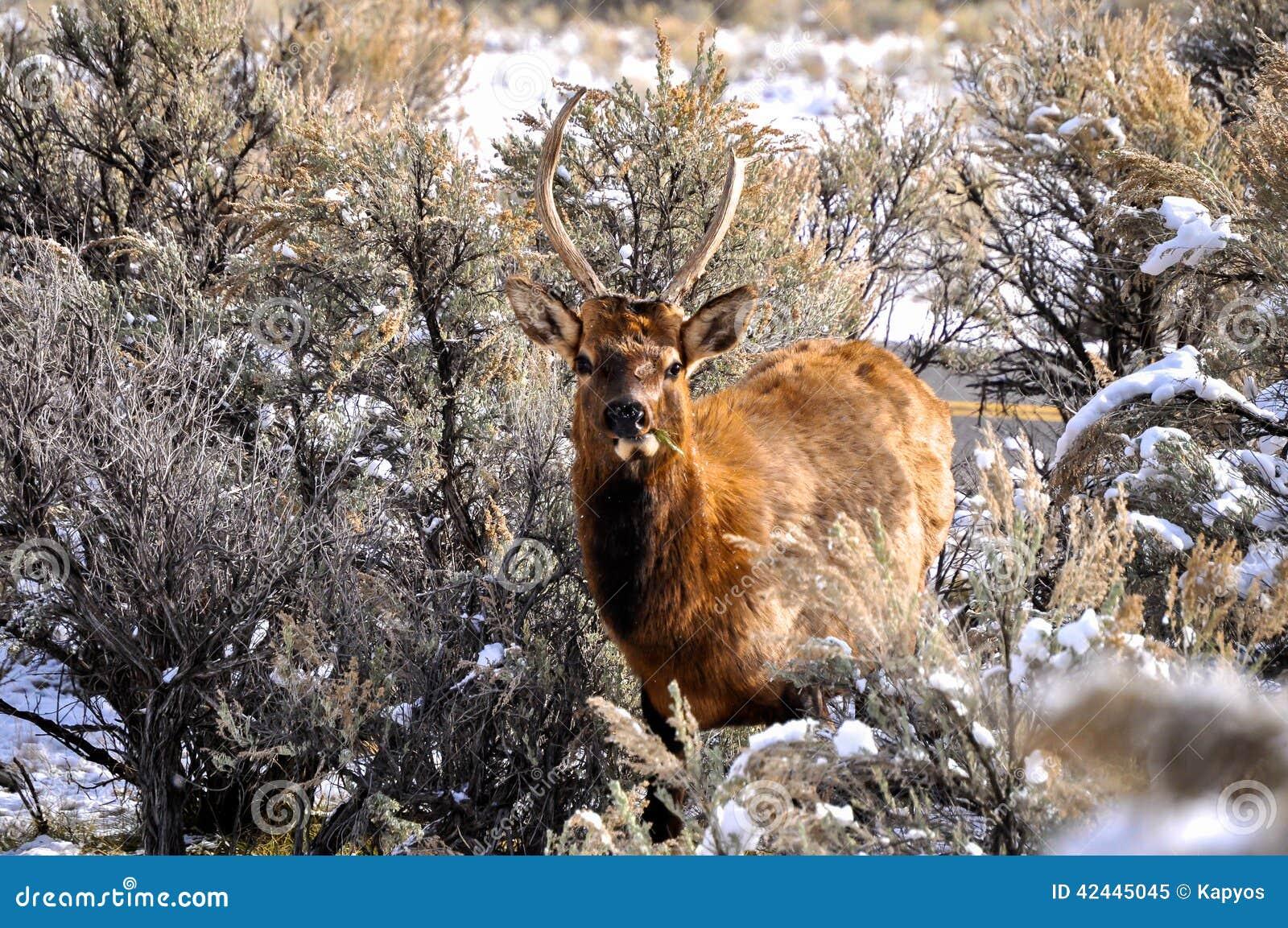 Ciervos en Yellowstone