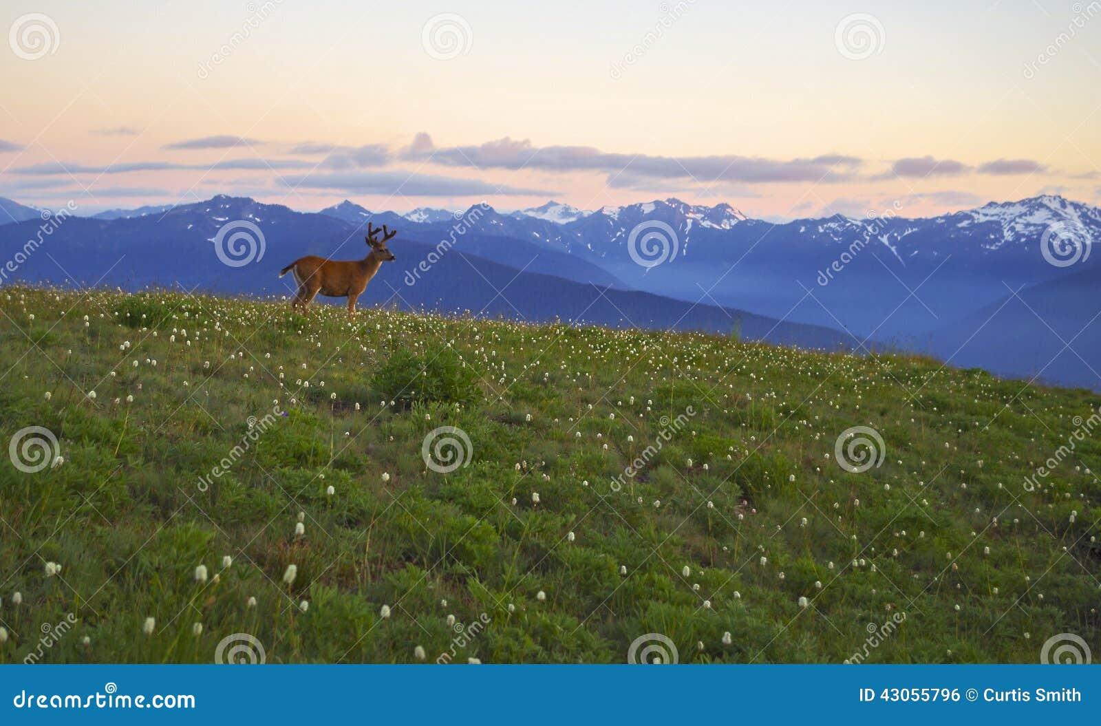 Ciervos, montañas y huracán Ridge, parque nacional olímpico de los prados