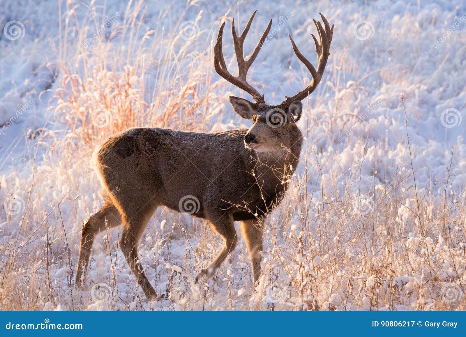 Ciervos mula en Colorado
