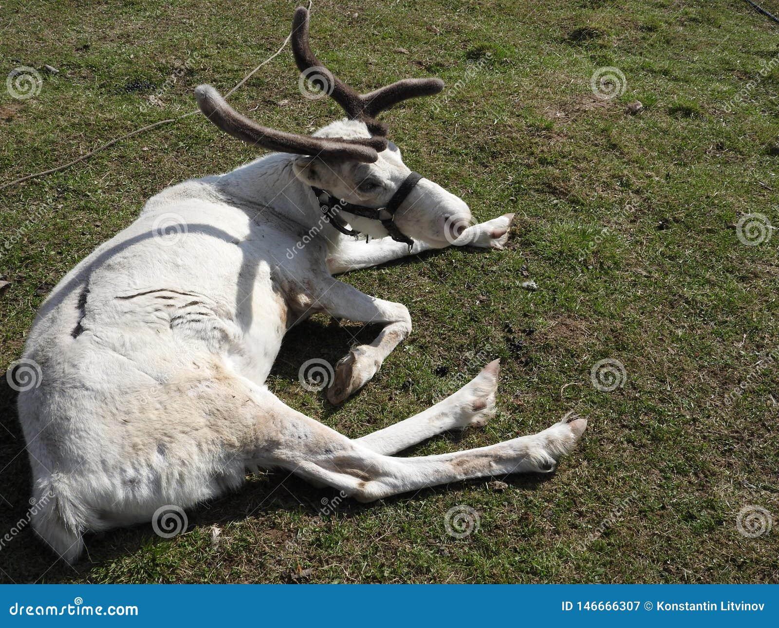 Ciervos que descansan en un prado en una granja de los ciervos, un d?a claro