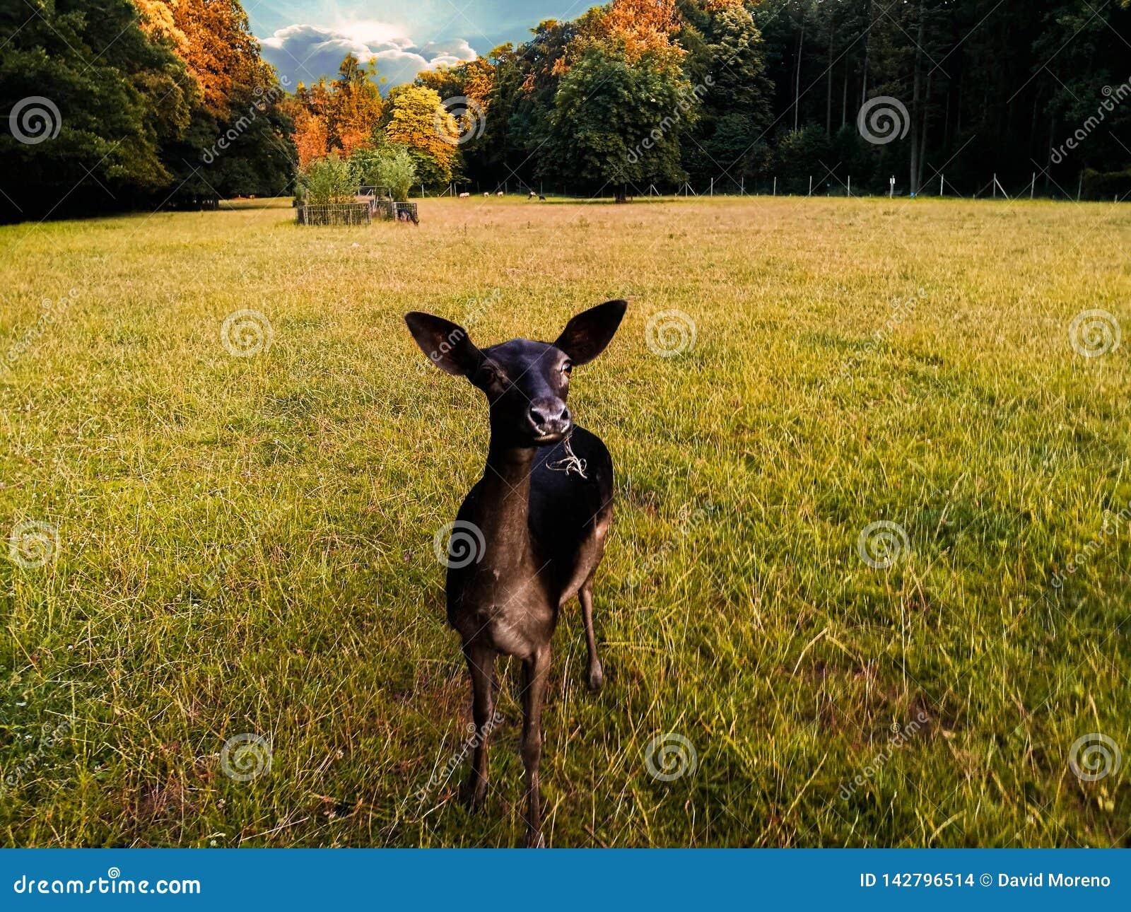 Ciervos que pastan en campo de hierba en el salvaje contra puesta del sol