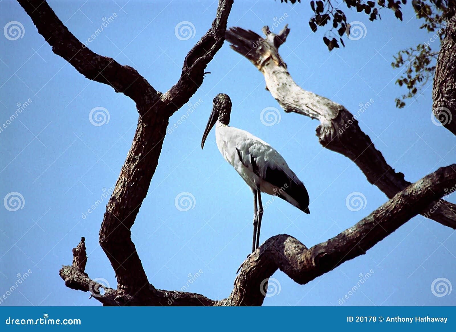 Cigüeña de Jabiru