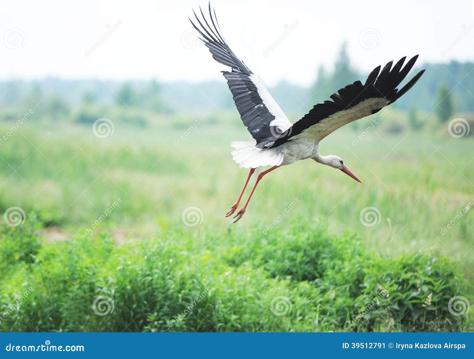 Cigüeña en un prado