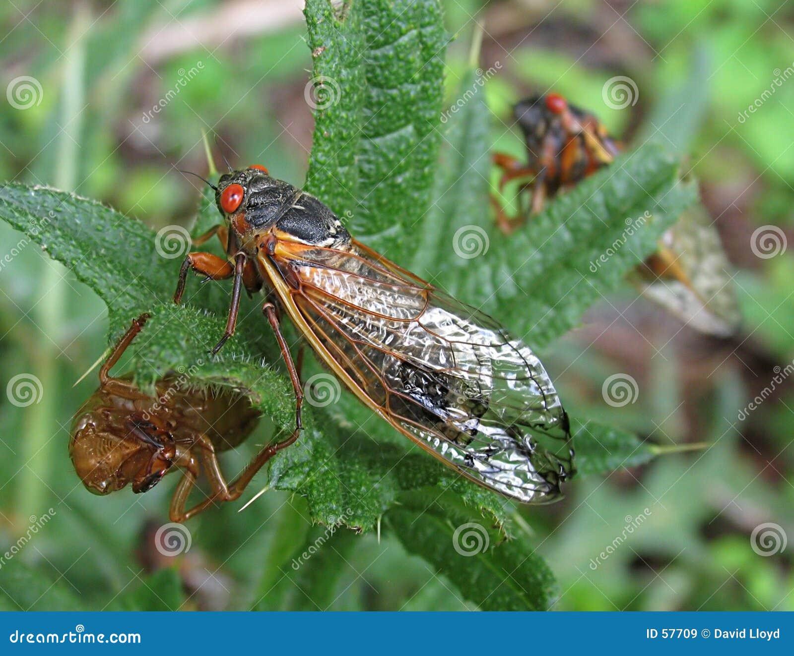 Download Cigale image stock. Image du couvée, centrale, nature, pennsylvania - 57709
