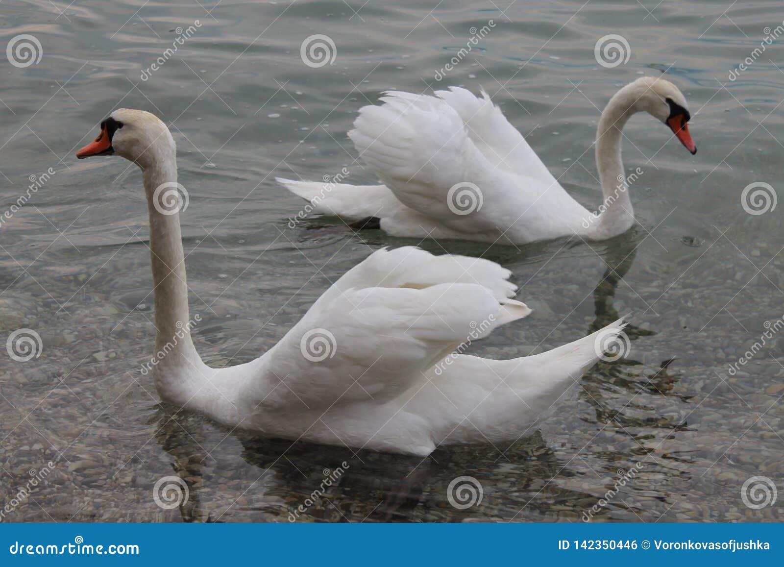 Cigni bianchi sulla polizia Italia del lago