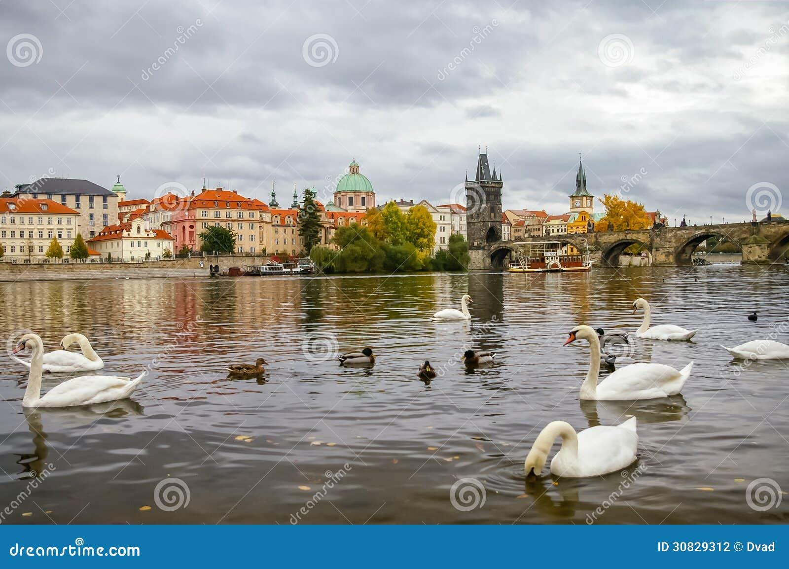 Cigni vicino a Charles Bridge a Praga