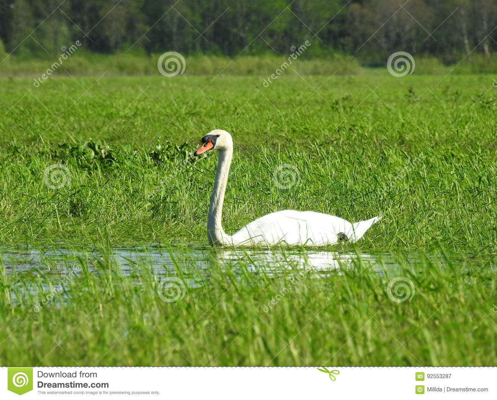 Cigno bianco
