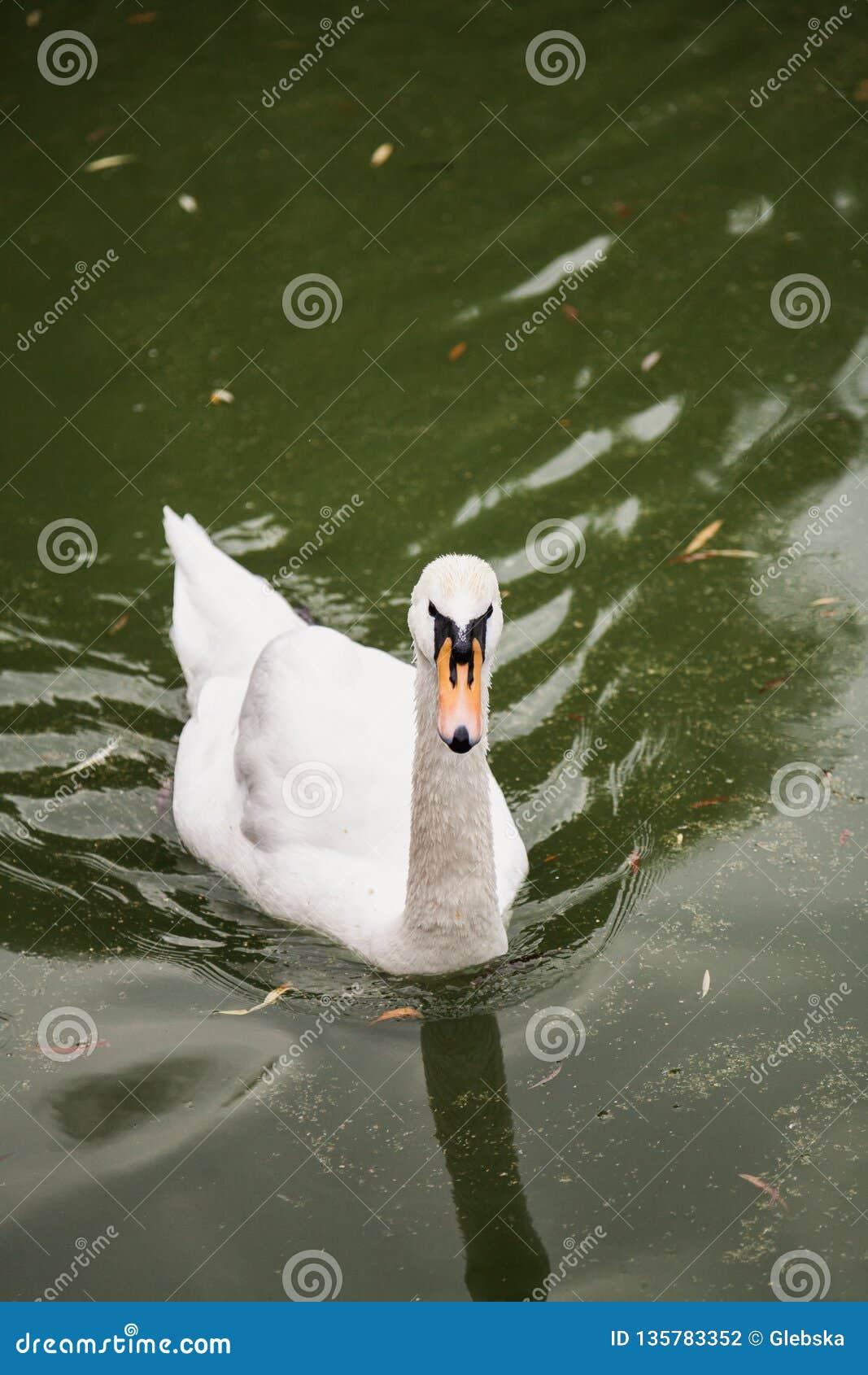 Cigno bianco che galleggia in acqua verde