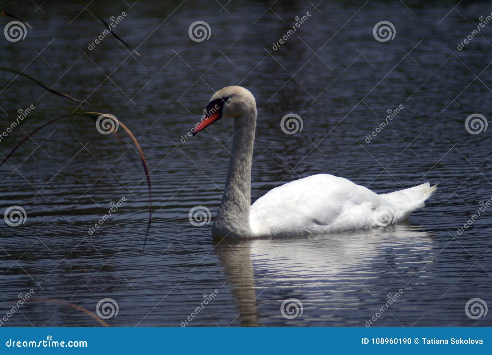 Cigno bianco con un becco rosso sull acqua scura