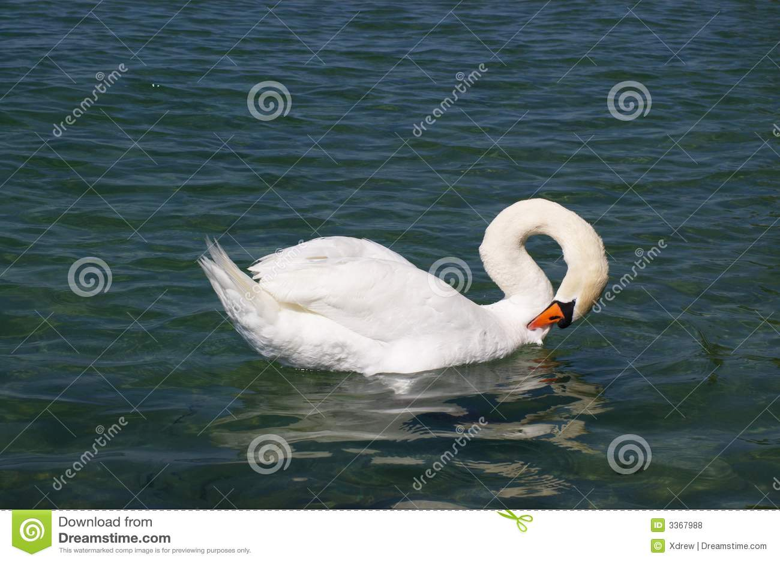 Cigno bianco in lago