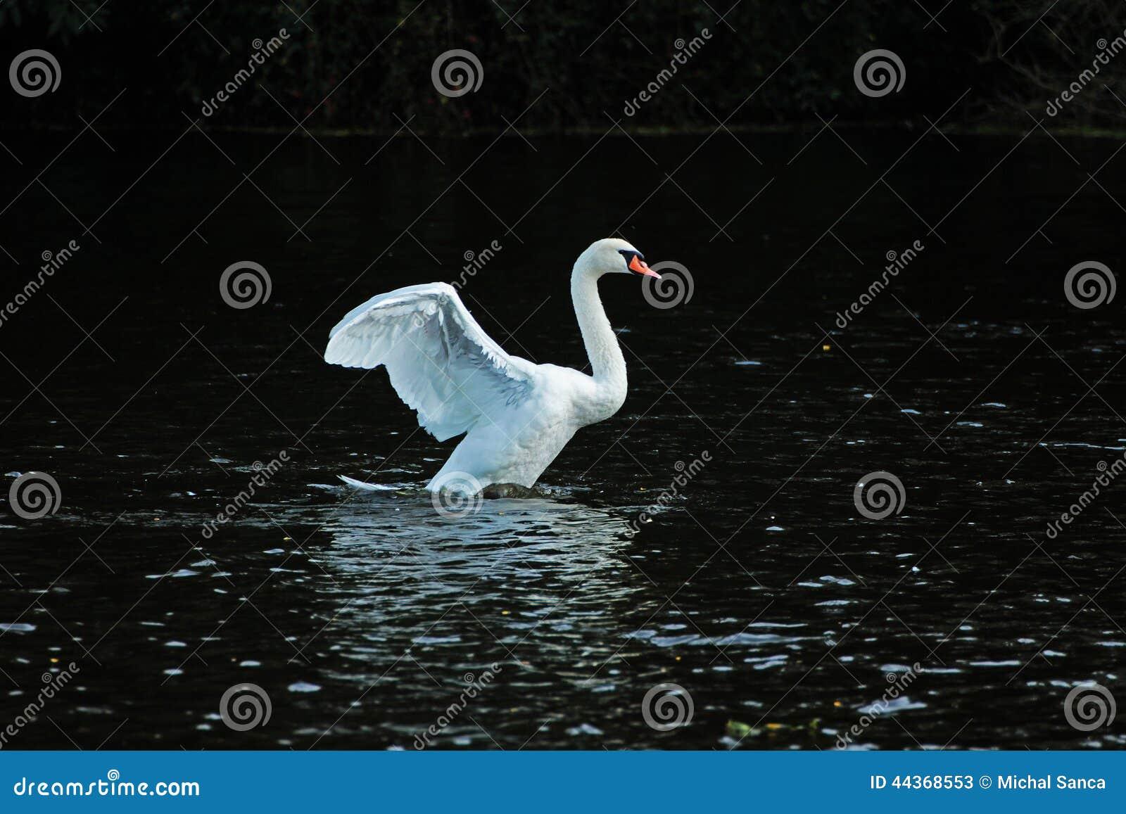 Cigno bianco nell acqua
