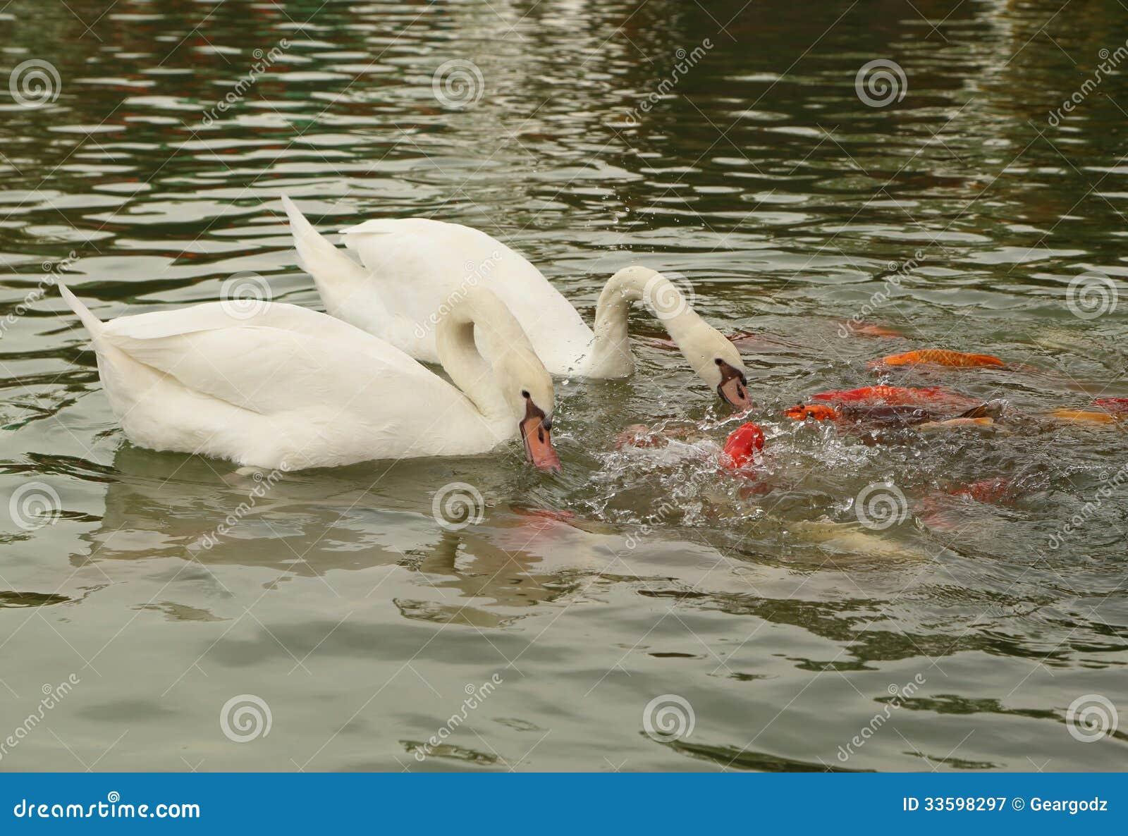 Cigno con nuoto del pesce di koi nello stagno immagine for Animali da stagno