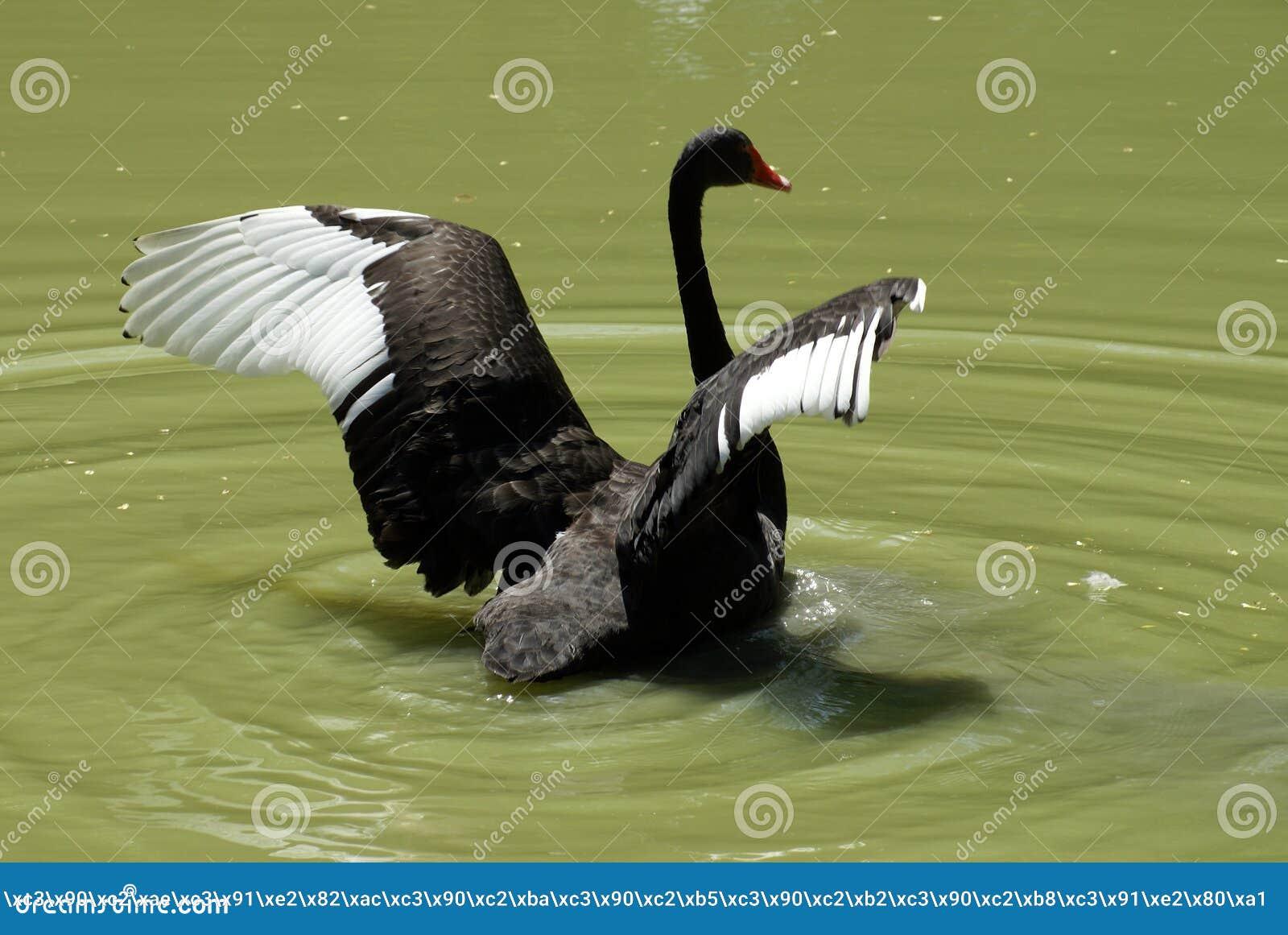 Download Cigno nero immagine stock. Immagine di piuma, lago, nero - 5310223