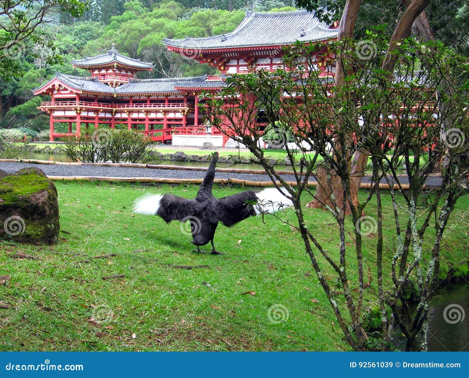 Cigno nero al tempio
