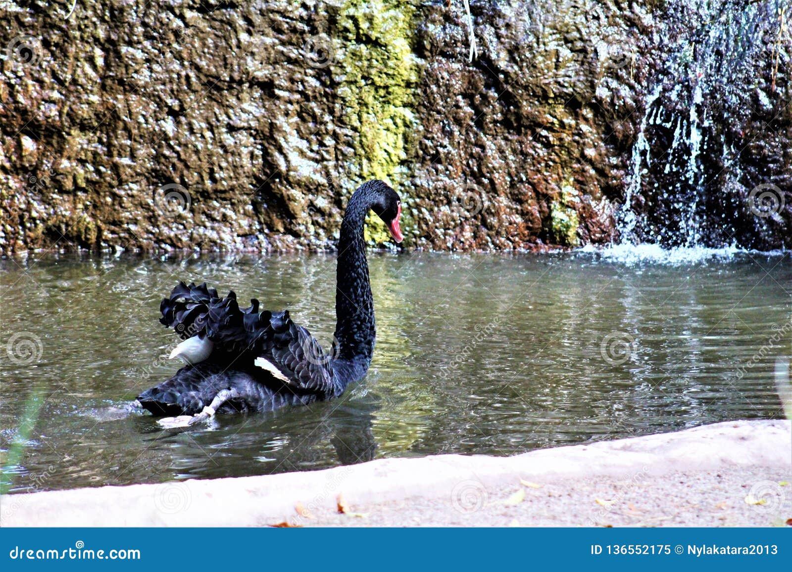 Cigno nero allo zoo di Phoenix a Phoenix, Arizona negli Stati Uniti