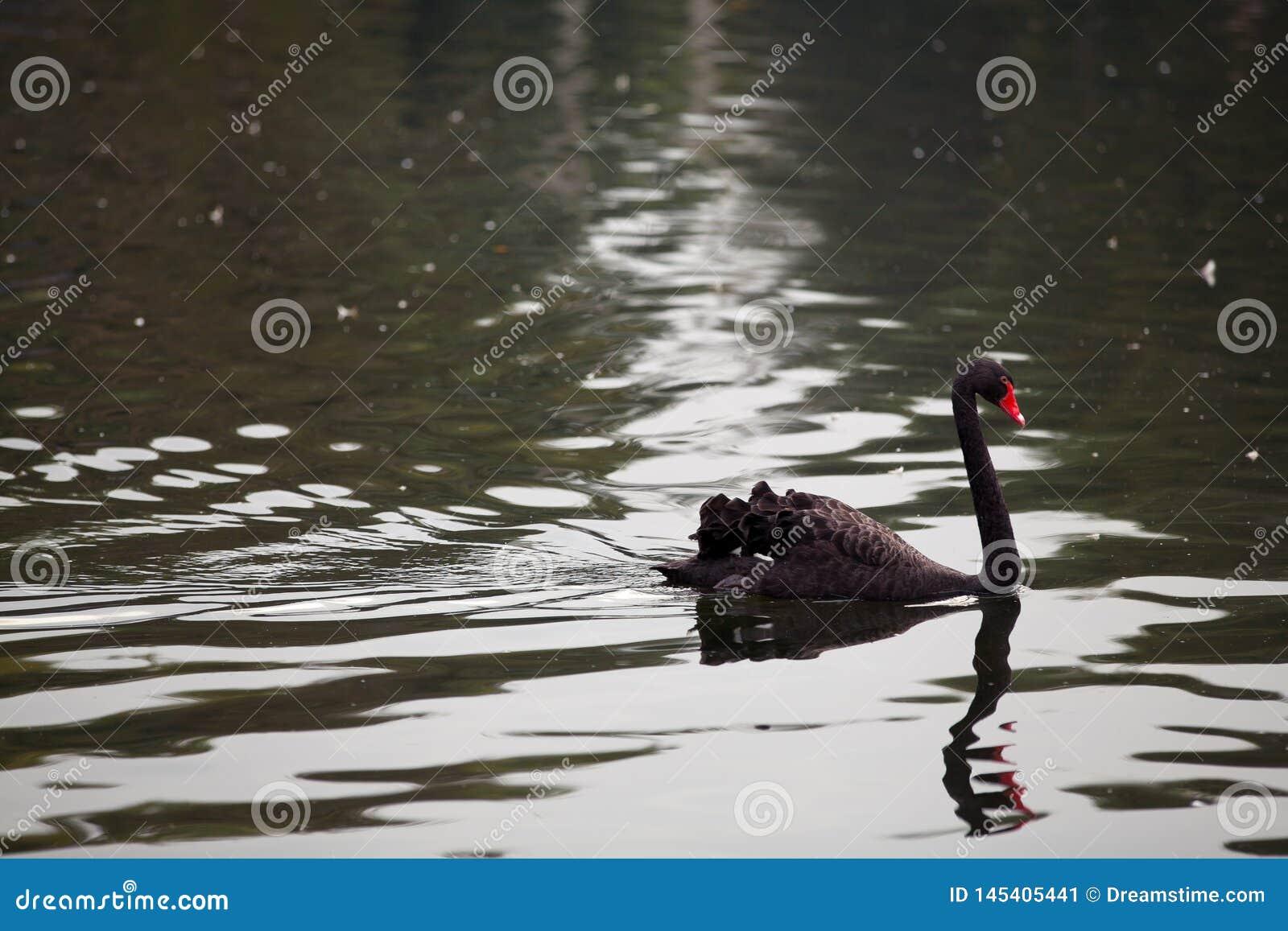 Cigno nero nell acqua