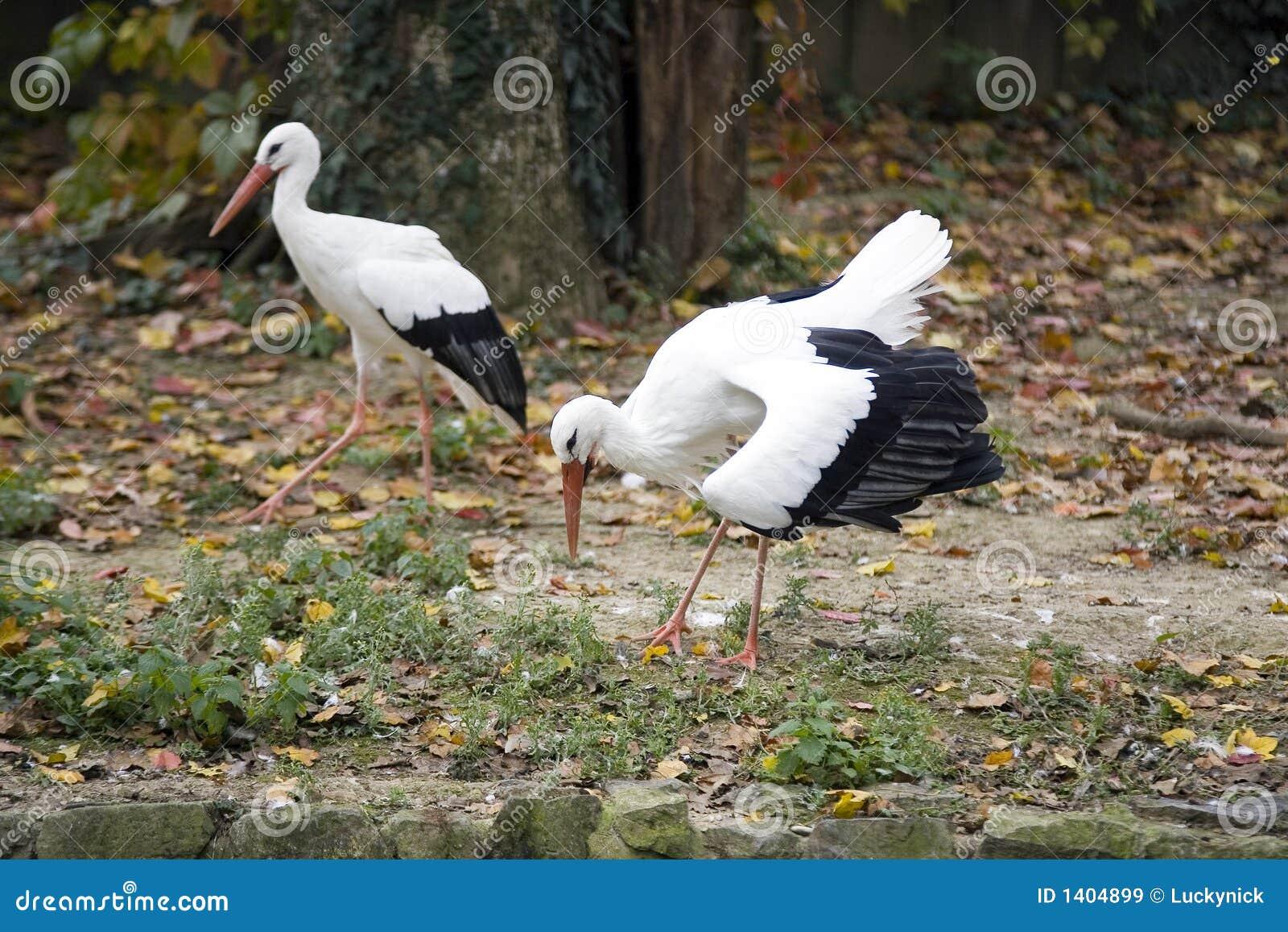 Cigogne de couples