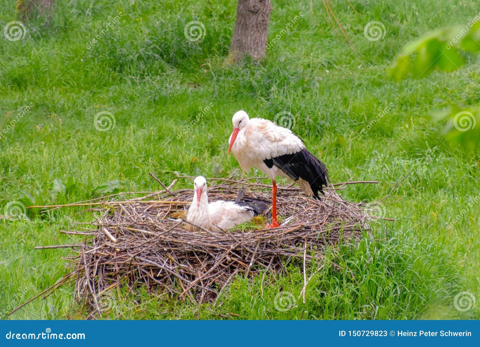 Cigogne sur le pré et dans le nid
